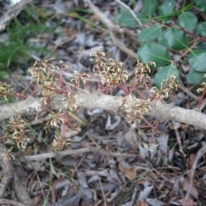 Photographie n°207834 du taxon Ceratonia siliqua L.
