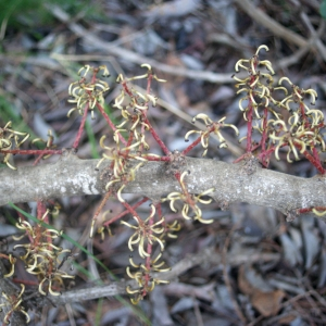 Photographie n°207835 du taxon Ceratonia siliqua L.