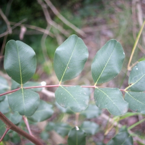 Photographie n°207836 du taxon Ceratonia siliqua L.