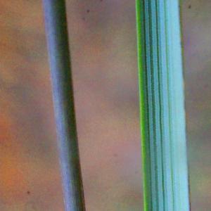Photographie n°207846 du taxon Spartina versicolor Fabre