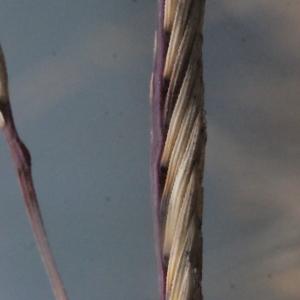 Photographie n°207848 du taxon Spartina versicolor Fabre