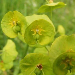 Euphorbia amygdaloides L. (Euphorbe à feuilles d'amandier)
