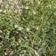 Jean-Claude Calais - Thesium humifusum subsp. divaricatum (Jan ex Mert. & W.D.J.Koch) Bonnier & Layens [1894]