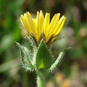 Helminthotheca echioides (L.) Holub (Picride fausse vipérine)