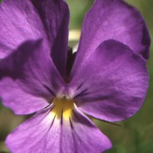 Viola calcarata L. (Pensée des Alpes)