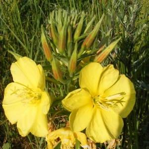 - Oenothera biennis L. [1753]