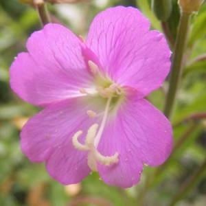 Epilobium hirsutum L. [1753] (Épilobe à grandes fleurs)