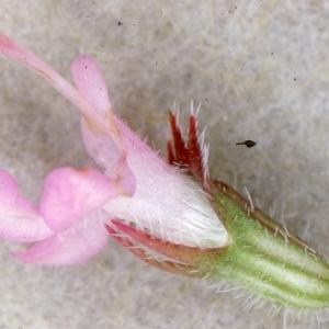 - Thymus serpyllum L. [1753]
