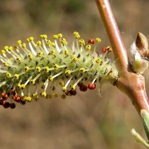 Salix purpurea L. (Osier pourpre)