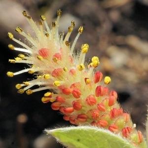 Salix pyrenaica Gouan (Saule des Pyrénées)