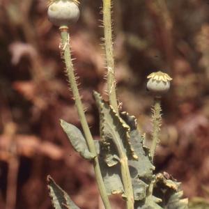 - Papaver somniferum subsp. setigerum (DC.) Arcang. [1882]