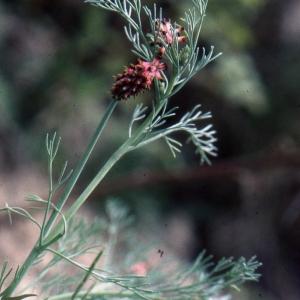 Photographie n°208163 du taxon Platycapnos spicata (L.) Bernh.