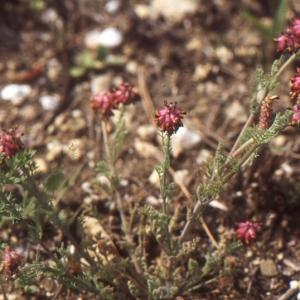 Photographie n°208164 du taxon Platycapnos spicata (L.) Bernh.