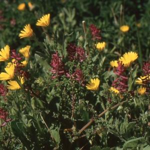 Photographie n°208165 du taxon Platycapnos spicata (L.) Bernh.