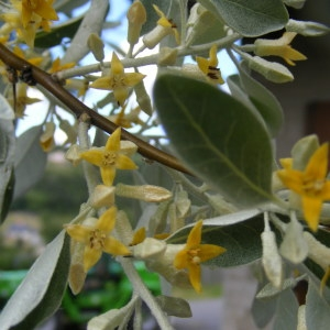 Elaeagnus angustifolia L. (Chalef)