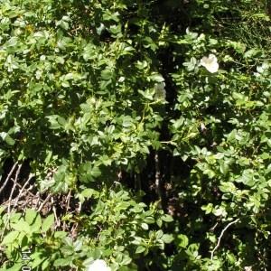 Rosa coriifolia Fr. (Églantier à feuilles coriaces)