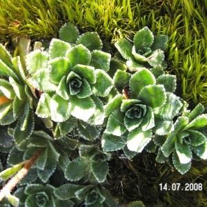 Photographie n°208188 du taxon Saxifraga paniculata Mill.