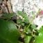 Alain Bigou - Chaenorhinum origanifolium (L.) Kostel. [1844]