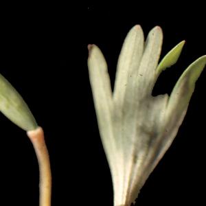 Photographie n°208235 du taxon Corydalis solida (L.) Clairv. [1811]