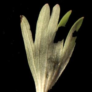Photographie n°208238 du taxon Corydalis solida (L.) Clairv. [1811]