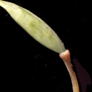 Photographie n°208241 du taxon Corydalis solida (L.) Clairv. [1811]