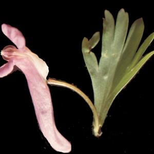 Photographie n°208244 du taxon Corydalis solida (L.) Clairv. [1811]