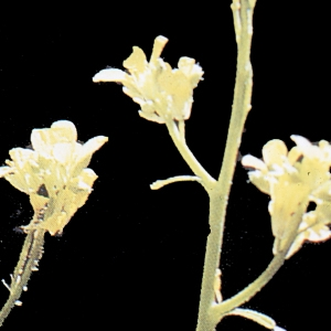 Photographie n°208249 du taxon Hirschfeldia incana (L.) Lagr.-Foss. [1847]