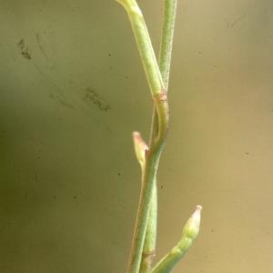 Photographie n°208251 du taxon Hirschfeldia incana (L.) Lagr.-Foss. [1847]