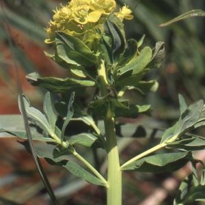 - Brassica nigra (L.) W.D.J.Koch
