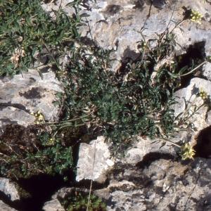 Photographie n°208271 du taxon Potentilla alchemilloides Lapeyr. [1782]