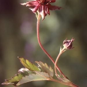 Photographie n°208274 du taxon Comarum palustre L.