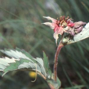Photographie n°208276 du taxon Comarum palustre L.