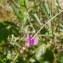 Jean-Claude Calais - Vicia angustifolia L. [1759]