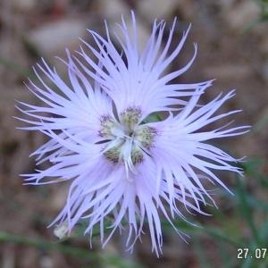 - Dianthus hyssopifolius L.