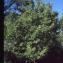 Liliane Roubaudi - Sorbus domestica L.