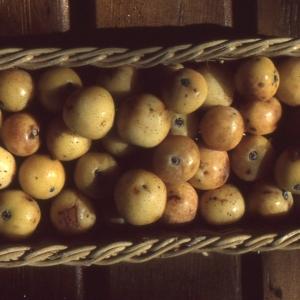 - Sorbus domestica L. [1753]