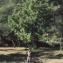 Liliane Roubaudi - Sorbus domestica L. [1753]