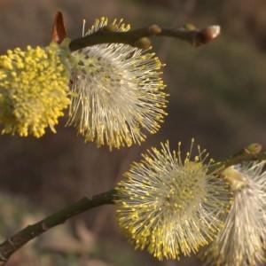- Salix caprea L.