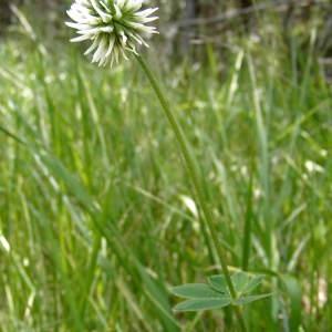 - Trifolium montanum L. [1753]
