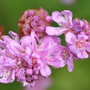 Armeria arenaria (Pers.) Schult. subsp. arenaria (Arméria des sables)