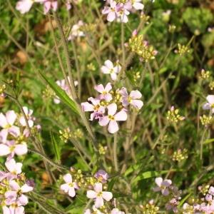Arabidopsis arenosa (L.) Lawalrée (Arabette des sables)