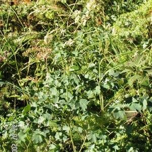 Thalictrum foetidum L. subsp. foetidum (Pigamon fétide)