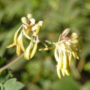 - Thalictrum foetidum subsp. foetidum