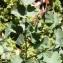 Alain Bigou - Thalictrum foetidum subsp. foetidum
