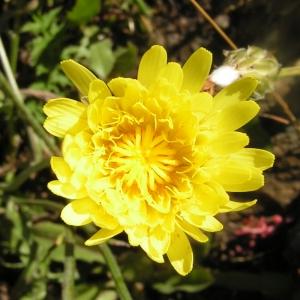 Crepis albida Vill. subsp. albida (Crépide blanchâtre)