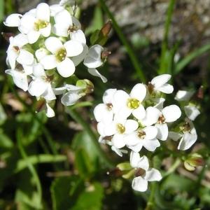 Hornungia alpina (L.) O.Appel subsp. alpina (Cresson de chamois)