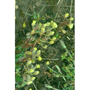 Helianthemum canum (L.) Baumg. var. canum