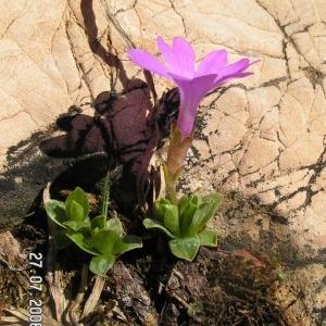 - Primula integrifolia L. [1753]