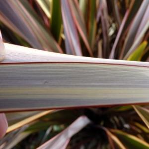 Phormium tenax J.R.Forst. & G.Forst. (Formio común)