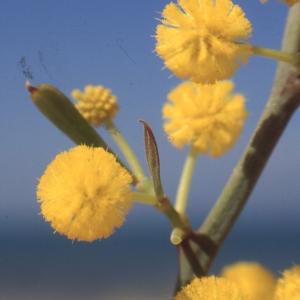 Acacia retinodes Schltdl. (Mimosa d'été)